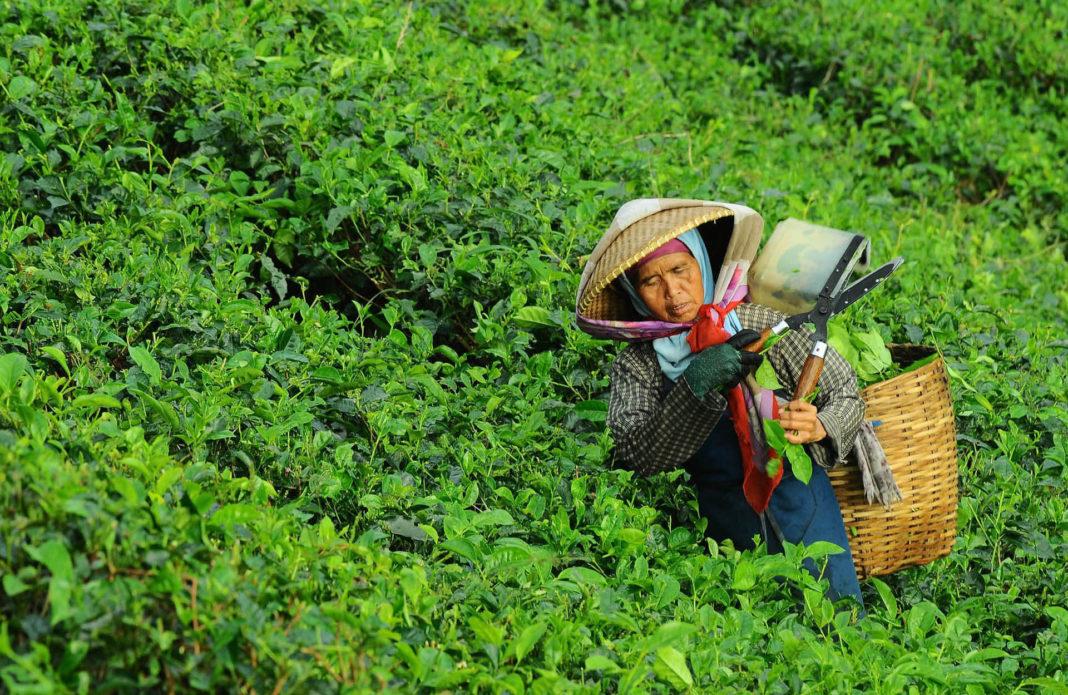 Frau mit Kiepe auf einer grünen Kaffeeplantage.