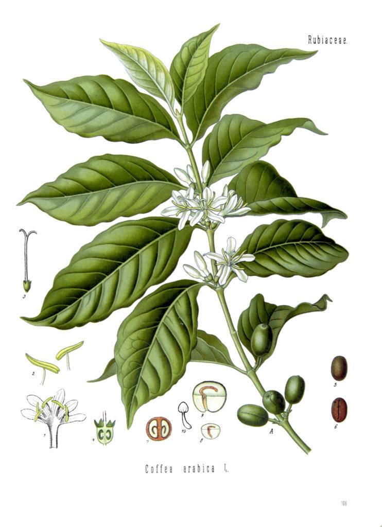 Detailreiche historische kolorierte botanische Zeichnung der Kaffeepflanze Arabica. (Quelle: Wikipedia)