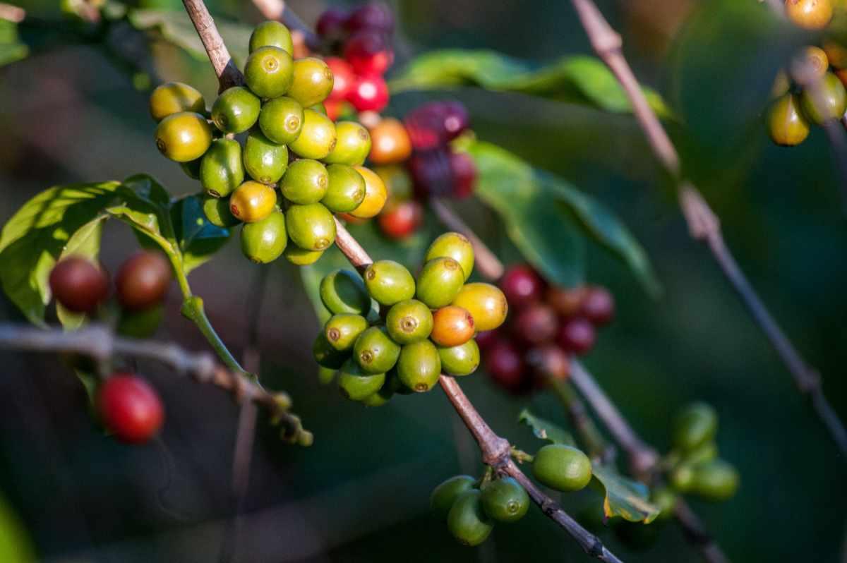 Reife und unreife Kaffeekirschen an der Kaffeepflanze. (Bild: Rodrigo Flores/Unsplash)