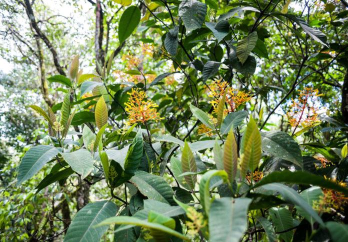 Eine Kaffeepflanze in voller Blüte in der Sonne. (Bild: Finca la Marianela)