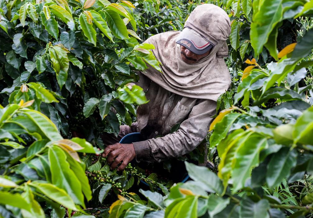 Kaffeepfluecker beim pfluecken von Kaffeebohnen auf einer Plantage. (Bild: Finca la Marianela)